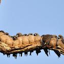 Ashy Woodswallows