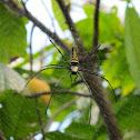 Golden orb-web spider (Female)