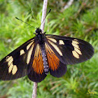 Actinote butterfly