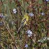 American Goldfinch (female)