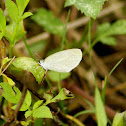 Barred Yellow Butterfly