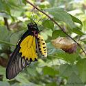 The Golden Birdwing