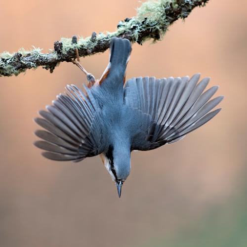 Eurasian Nuthatch (Sitta europaea) by Alberto Carati - Animals Birds