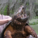 Alligator Snapping Turtle (Slippery Pete)