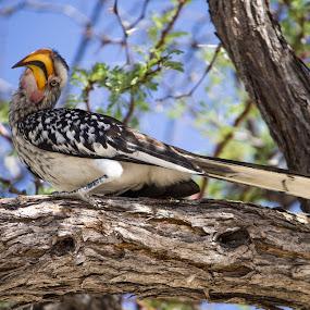 Hornbill  by Arun Prasanna - Animals Birds