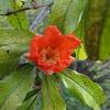 Pomegrante bloom
