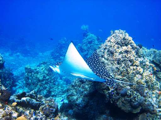 Scuba divers and snorkelers may spot a ray or two in the waters off Cozumel.