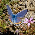 Acmon Blue Butterfly