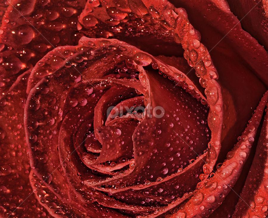 by Jasenka LV - Flowers Single Flower (  )