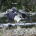 Tri Colored Heron