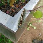 Cape Lappet Moth