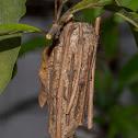 case moth