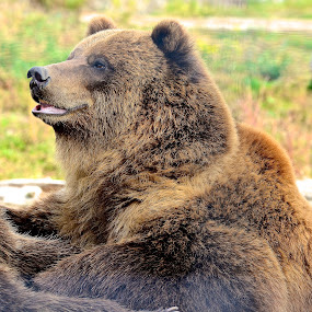Happy Bear by  J B  - Animals Other Mammals ( bear, happy bear, animal, grizzly bear )