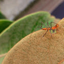 BRIGHT ORANGE ASSASSIN BUG LARVAE