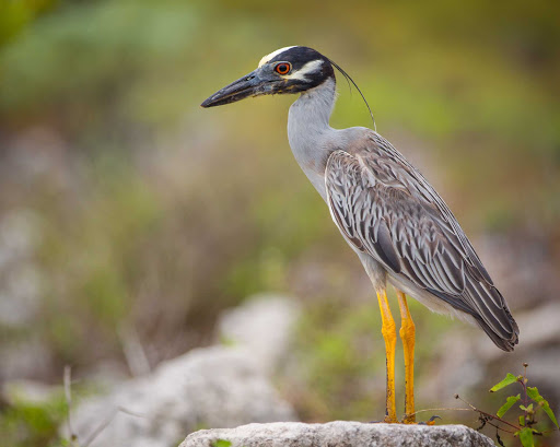 Cayman-Islands-Yellow-crowned-Night-Heron.jpg - A yellow-crowned night heron on Little Cayman in the Cayman Islands.