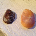 Atlantic Slipper Shell