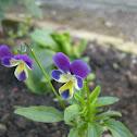 Viola (Violaceae Species)