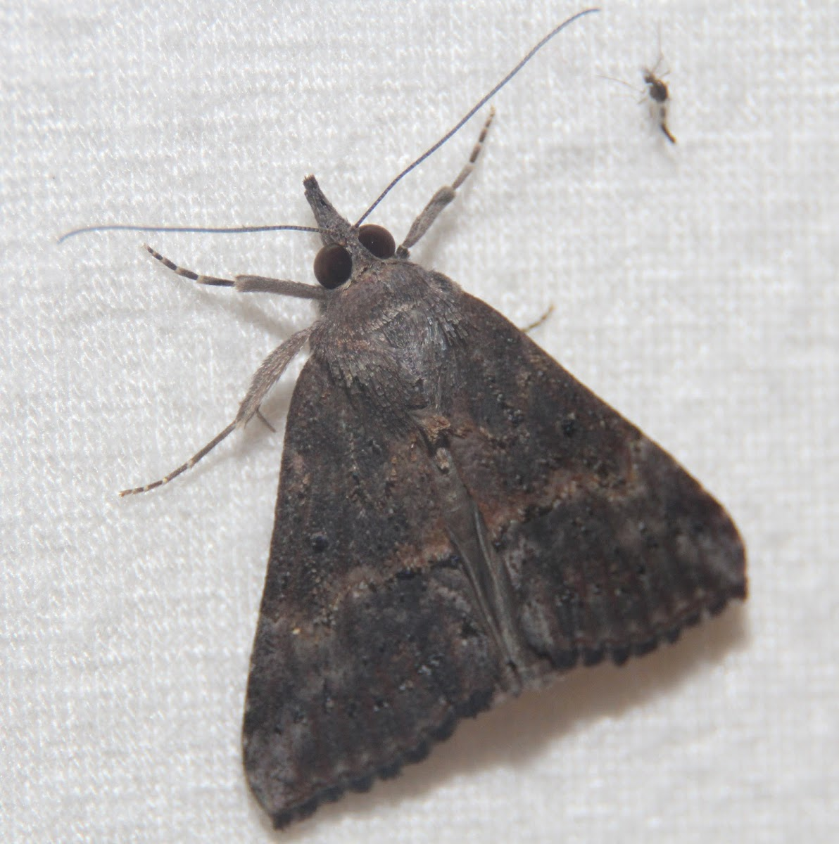 Green Cloverworm Moth - Hodges#8465