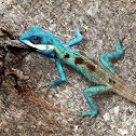 Blue Crested Lizard