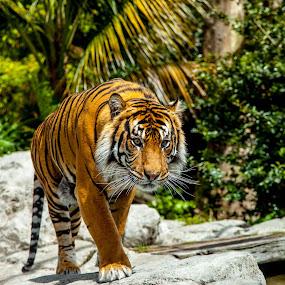 by Sheena True - Animals Lions, Tigers & Big Cats