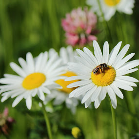 Daisies, a Bee, and Clover by Michael Velardo - Flowers Flowers in the Wild ( white petals, nature, flora, bee, outdoors, daisies, wildlife, pollen gathering, clover, color photography,  )