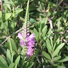 Fall Obedient Plant