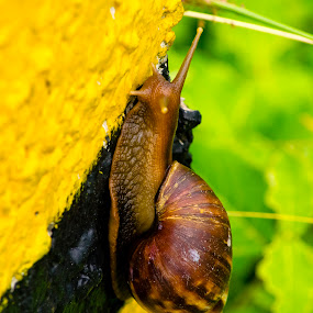 Snail by Manjunath Nagesha Rao - Animals Insects & Spiders