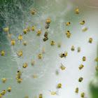 Baby spiderlings, European Garden Spider