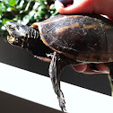 Stripped mud turtle