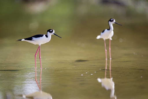 Cayman-Islands-Black-necked-Stilts - A black-necked stilt in the Cayman Islands.