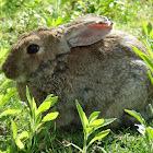 European Rabbit,Coelho Europeu