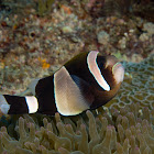Wide-banded Anemonefish