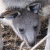 Joey (baby Kangaroo)