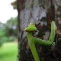 Big female mantis