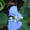 hairy commelina, Benghal dayflower