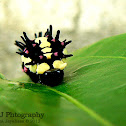 Common Mime Larva