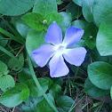 campanilla azul silvestre