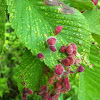 Elm gall aphid