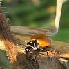 Spotless Convergent Ladybug