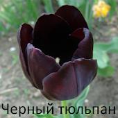 Черный тюльпан, Александр Дюма