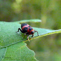 Black and red weevil