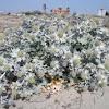 Eryngium maritimum (Cardo marítimo. Sea holly)