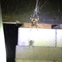 """European Garden Spider,  """"Cross Spider"""""""