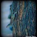Indian Squirrel