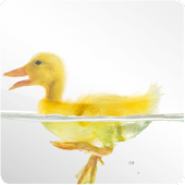 Swimming Duckling LivWallpaper