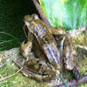 European Common Frog