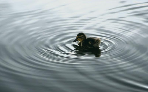 Duck HD Wallpaper