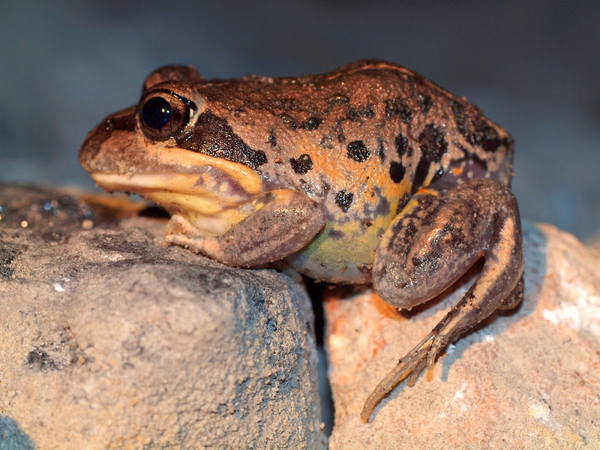 Pobblebonk ( Eastern Banjo Frog )