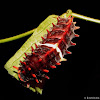Common Rose Caterpillar