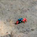 Tetragonal Fiddler Crab